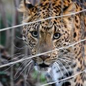 china_leopard